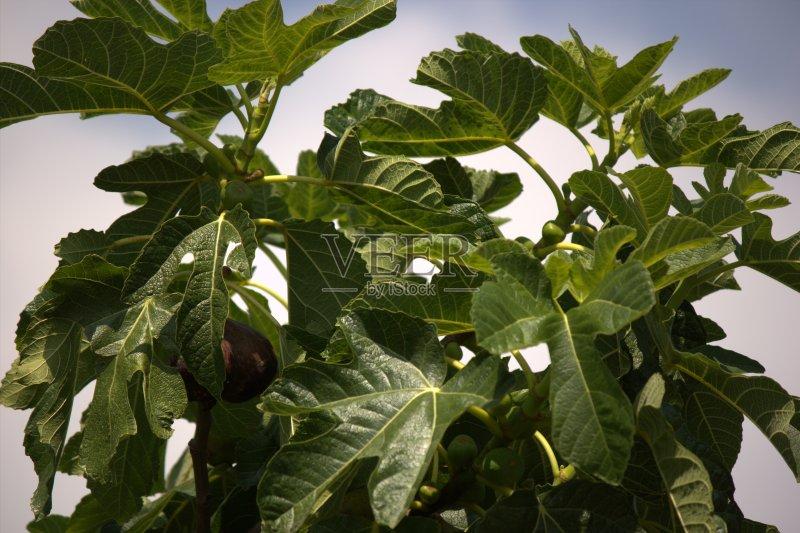 无花果 水果 无人 无花果树 植物学 绿色 食品 植物 自然 无花果叶