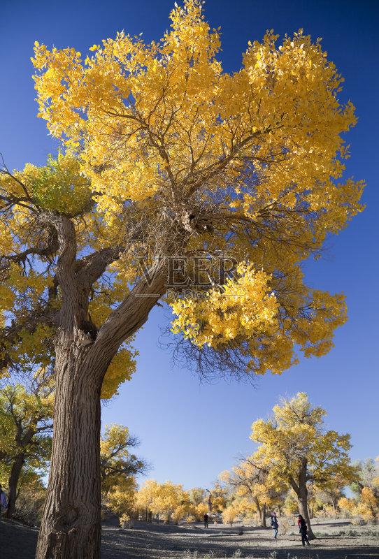胡杨林 旅行 地形 白杨 树干 内蒙古 户外 自然美 森林 橙色 沙漠 蓝色