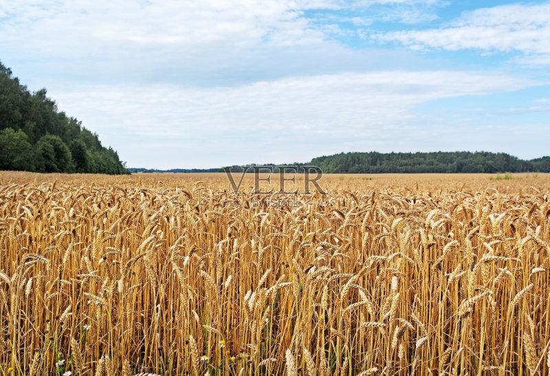 麦田-生长 地平面 田园风光 植物 小麦 天空 蓝色 自然 白昼 无人 农业
