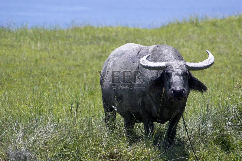 公牛 蓝色 水牛 野牛 无人 母牛 家畜 草 海洋 草坪 台湾 有角的 户外