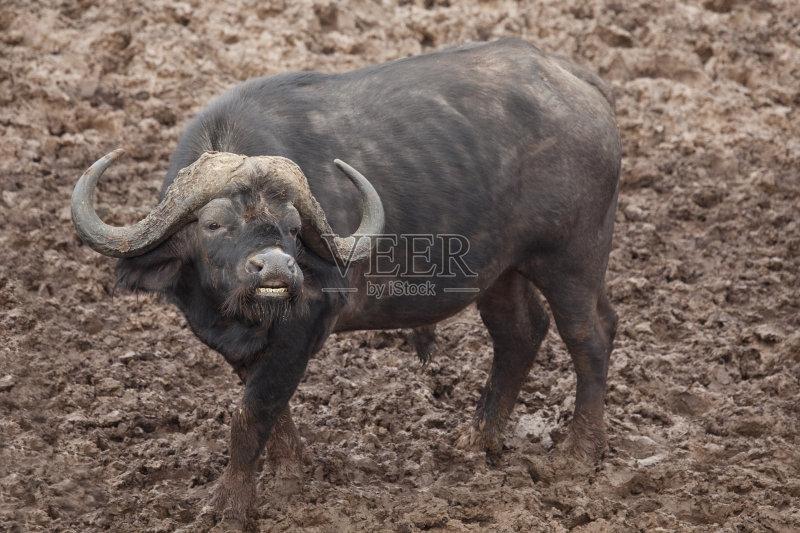 牛 非洲黑色大水牛 狩猎动物 非洲 水牛 野外动物 非洲水牛 肯尼亚