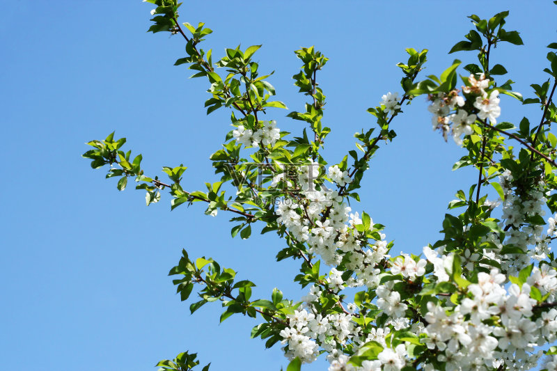 花蕾 植物 菜园 符号 柔和 天空 太阳 枝 自然 昏晕 脆弱 东京 樱桃树 图片