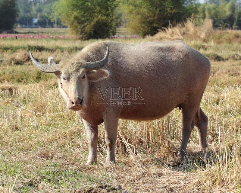 田园风光 牛 水牛 自然 动物 无人 泰国 亚洲 热带气候 日光 白化病者