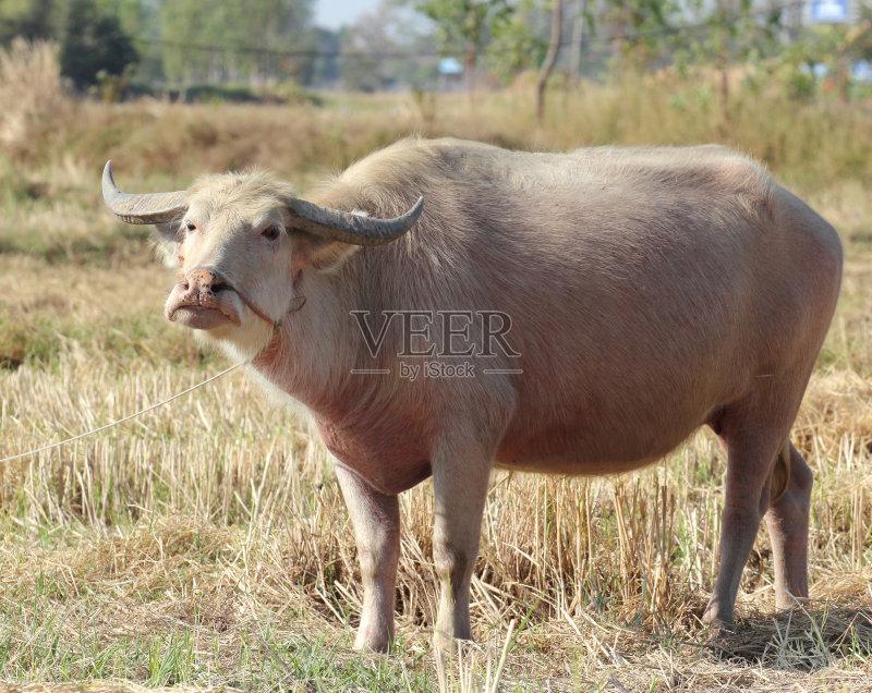 田园风光 牛 水牛 白化病者 自然 动物 无人 泰国 亚洲 热带气候 日光