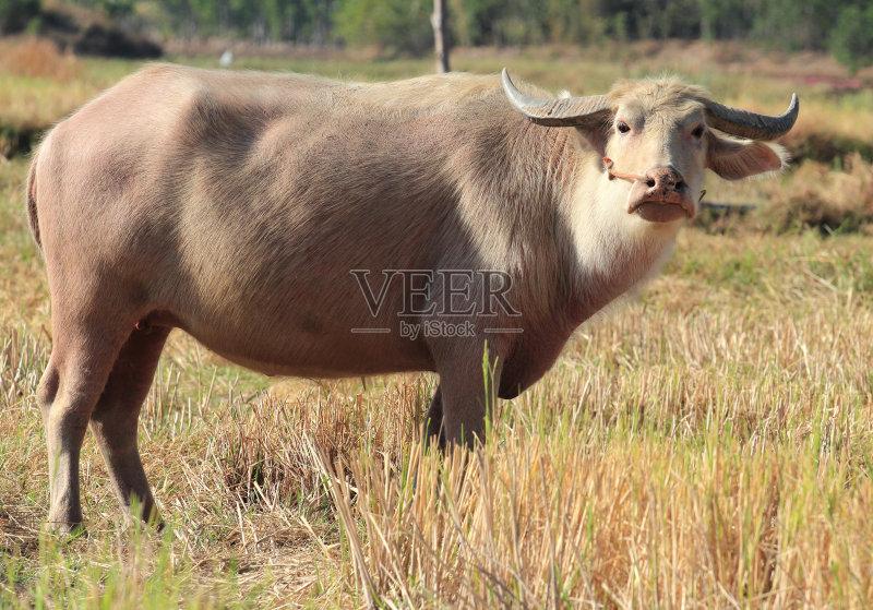 田园风光 牛 水牛 自然 动物 无人 泰国 亚洲 白化病者 热带气候 日光