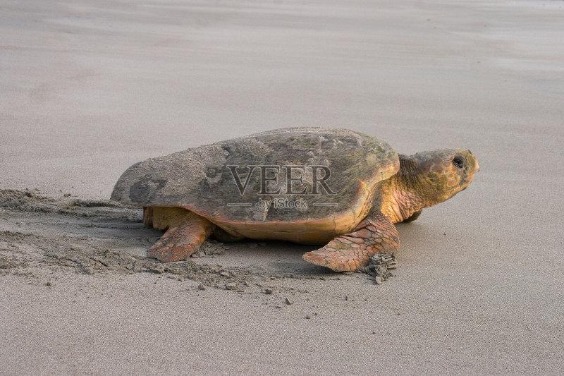 危物种 海洋 海岸线 铁球棒龟 海滩 户外