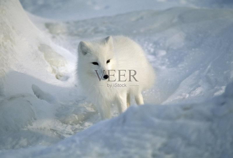 天 野外动物 北极狐 自然 无人 加拿大 野生动物 狐狸 寒冷 北极 户外图片