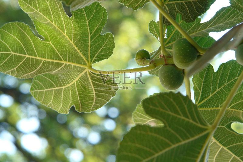 色 太阳 枝 无花果 绞杀植物 无人 无花果树 食品 生活方式