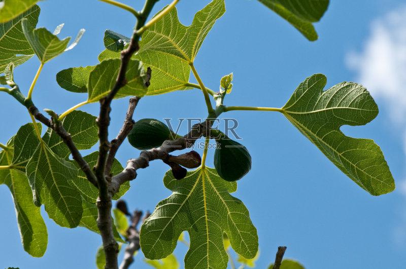 无花果 无人 无花果树 绿色 叶子 树 天空 蓝色 夏天 枝