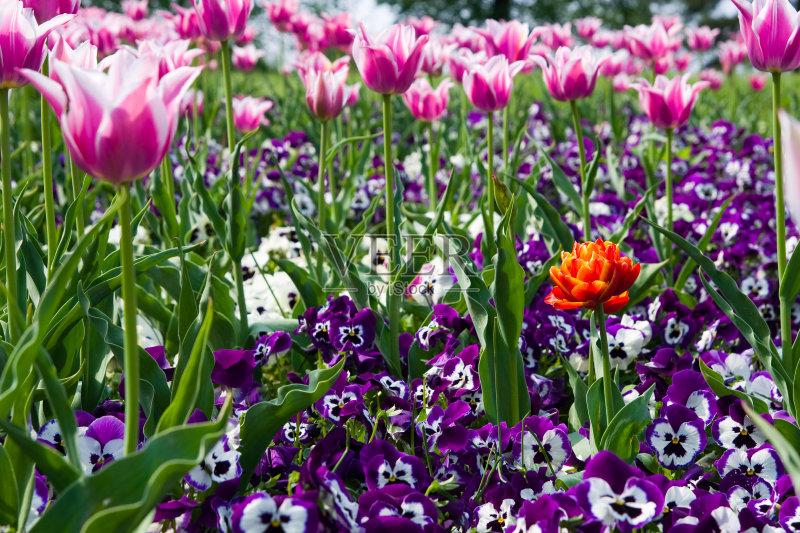 花卉-无人 花束 花坛 清新 多色的 春天 喜林草 组物体 户外