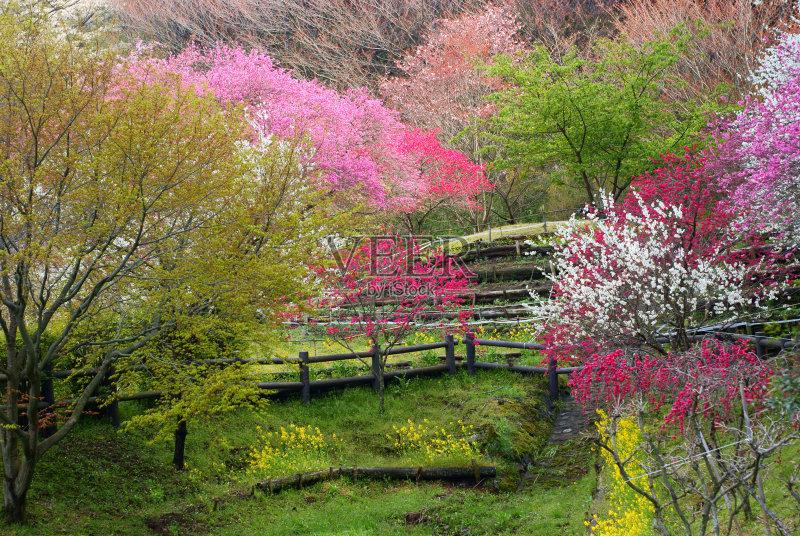日本 亚洲樱桃树 文化 里山风景 东亚 景观设计 东亚文化 农作物 樱桃树 图片