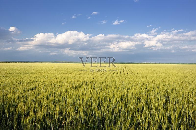 麦田-谷类 草地 陆地 尖的 生长 晴朗 明亮 植物 小麦 安静 天空 自然 黄