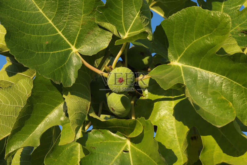 无花果 水果 无人 无花果树 食品 有机食品 农业 叶子 法国 普罗旺斯 自