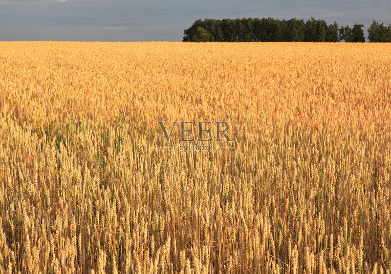 麦田-田地 谷类 俄罗斯 草原 田园风光 小麦 夏天 自然 平原 无人 西伯利