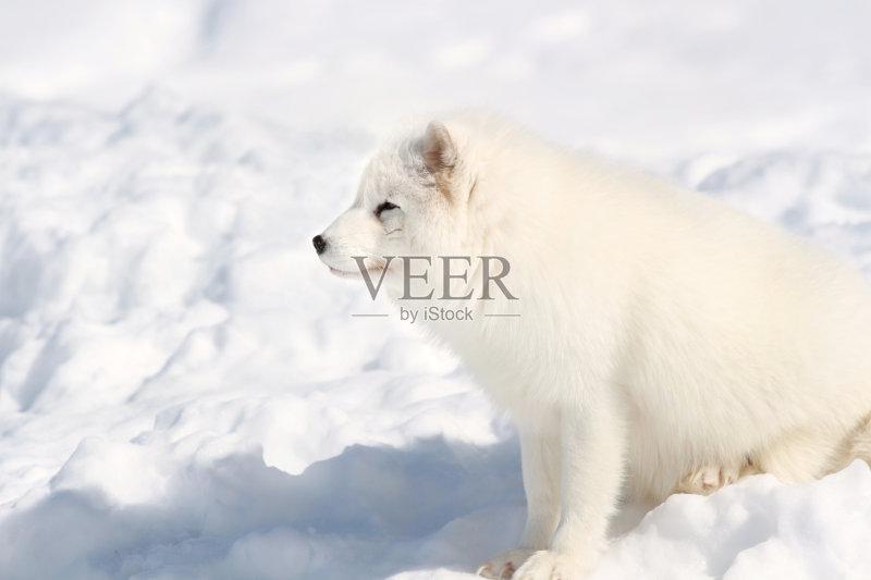 纲 野外动物 北极狐 自然 动物 户外图片
