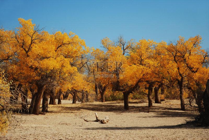 自然 黄色 胡杨林 旅行 旅行者 季节 白杨 嫩枝 金色 户外 自然美 森林
