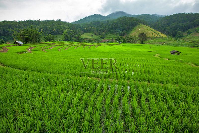 稻 已经垦殖的土地 绿色 田园风光 农场 枝繁叶茂 无人 泰国