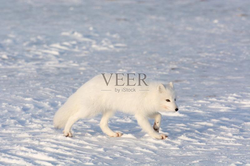 天 野外动物 北极狐 自然 动物 冻原 捕食 野生动物 狐狸 动物毛发 哺乳图片
