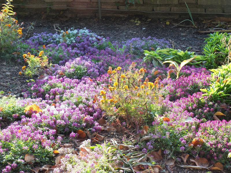 花园-花瓣 陆地 生长 植物学 白色 叶子 植物 花头 墙 雄蕊 黄色 无人 花