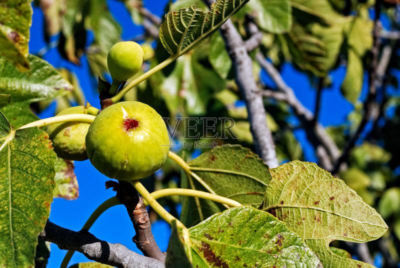 秋天 无花果 水果 无人 熟的 无花果树 叶子 嫩枝 亚得里亚海无花果 南