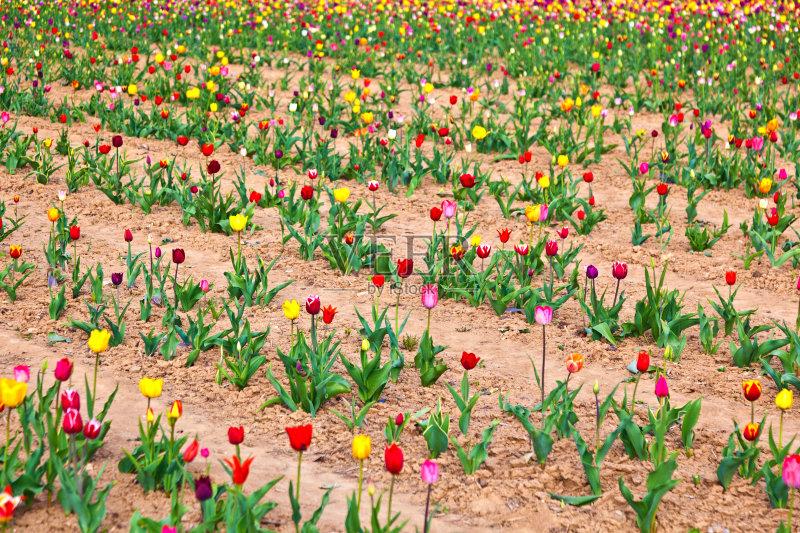 天 泉 无人 花卉商 爱 日光 植物茎 郁金香 清新 多色的 庆祝 花朵