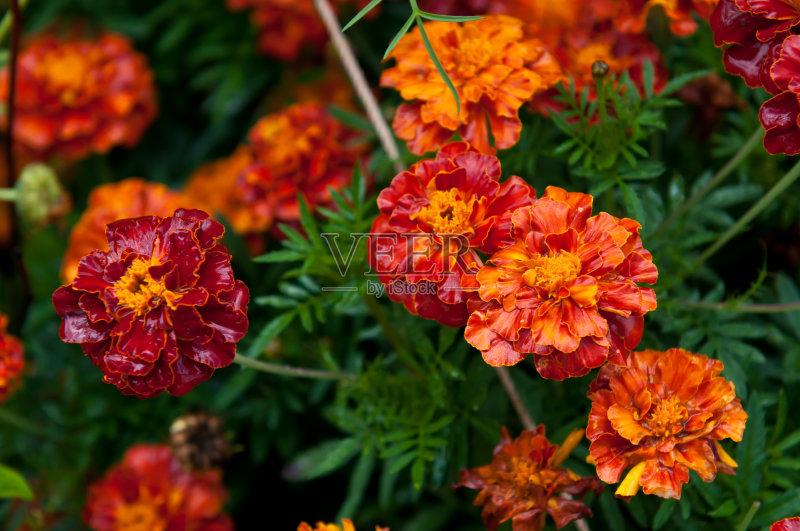 花卉-花瓣 植物学 植物 花头 夏天 自然 无人 花 雏菊 植物茎 清新 季节