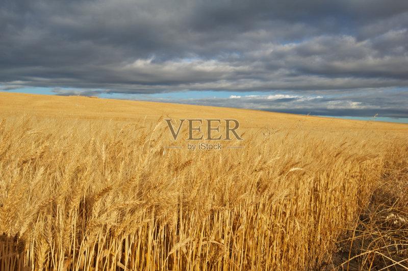 麦田-秋天 田地 谷类 雨 草原 田园风光 乡村风格 积雨云 小麦 自然 农作