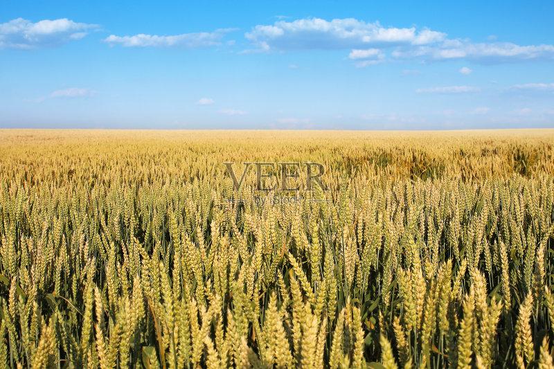 麦田-谷类 斯洛伐克 植物 小麦 天空 自然 景观设计 黄色 白昼 农业 地形