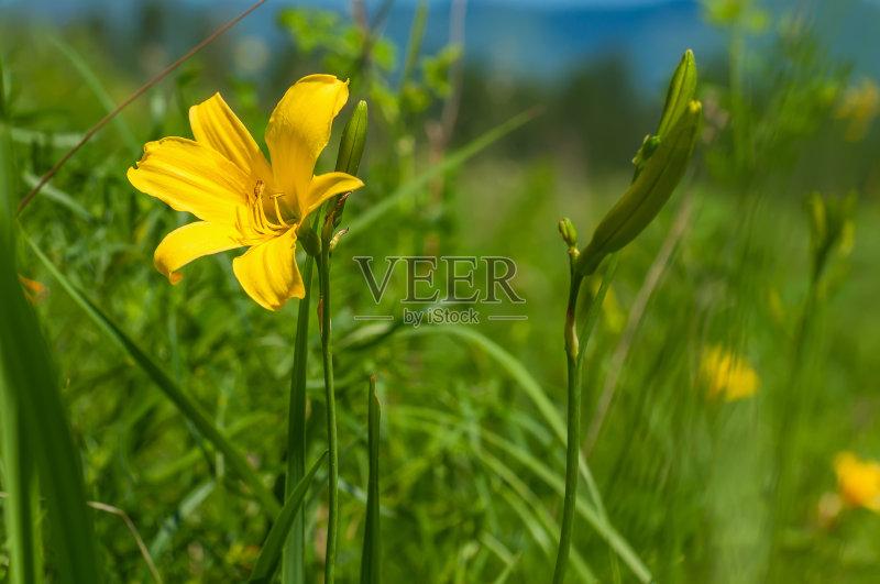 花草-草地 草本 山 晴朗 明亮 植物 式样 自然 黄色 平原 花纹 脆弱 草 未