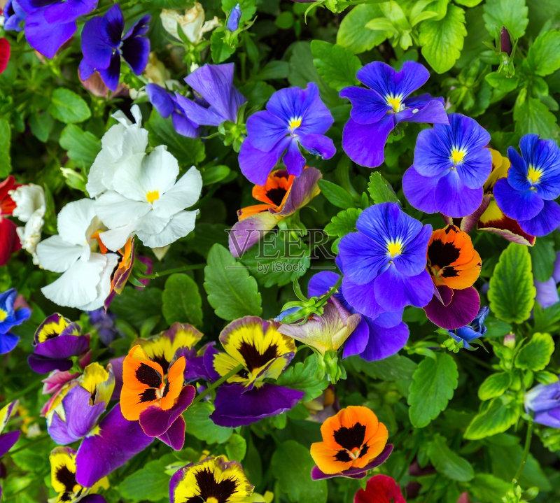 花卉-郁金香 清新 花朵
