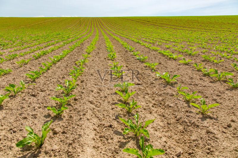 背景 户外 田地 已经垦殖的土地 绿色 田园风光 蔬菜 有机食品 幼小动