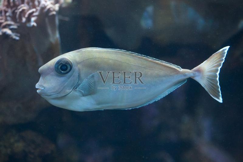 鼻子上有刺的鱼-长吻鼻鱼 太平洋 自然 水下 黑舌角吊鱼 野生动物 鱼类 一只动物 游泳