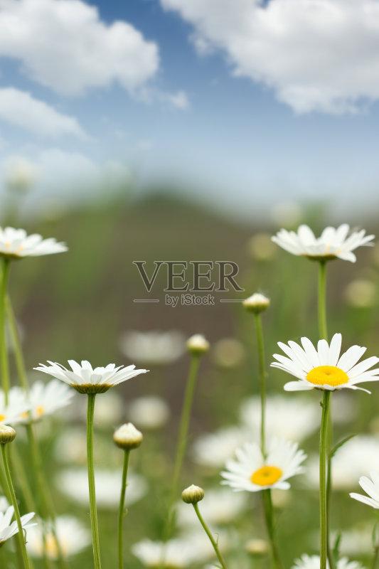 花草-田地 草地 植物学 环境 白色 绿色 植物 花坛 春天 夏天 塞尔维亚