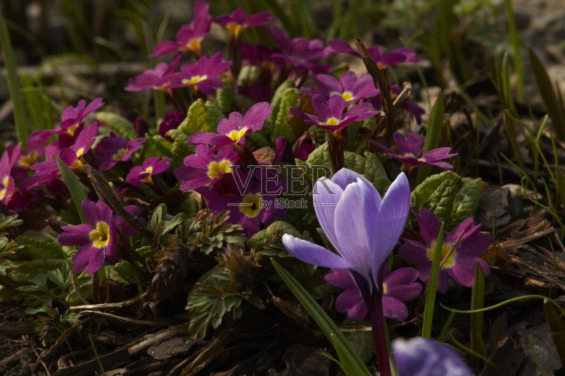 花草-番红花属 草地 无人 日光 花 叶子 花坛 草 紫色 春天 自然 户外