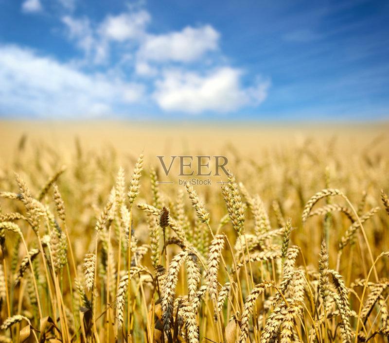 麦田-陆地 生长 种子 田园风光 农场 夏天 蓝色 自然 景观设计 黄色 白昼