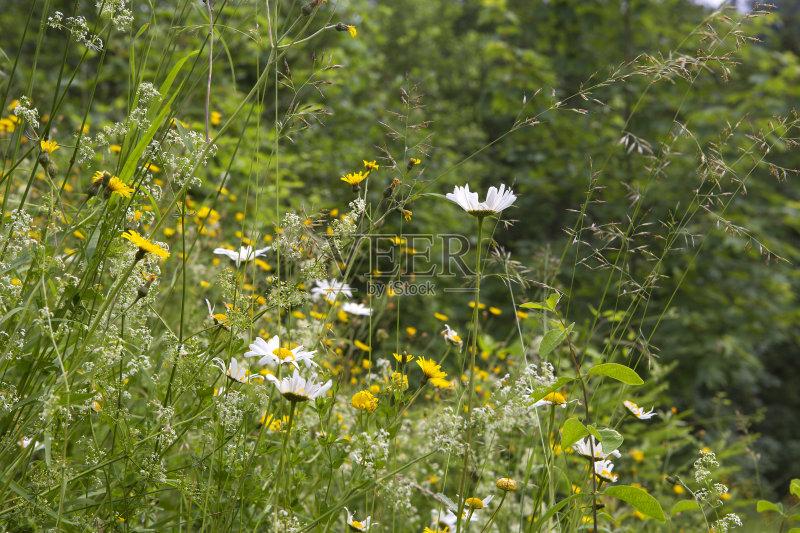 花草-草地 无人 野花 植物 毛莨科 未经垦殖的土地 夏天 蒲公英 自然 户外