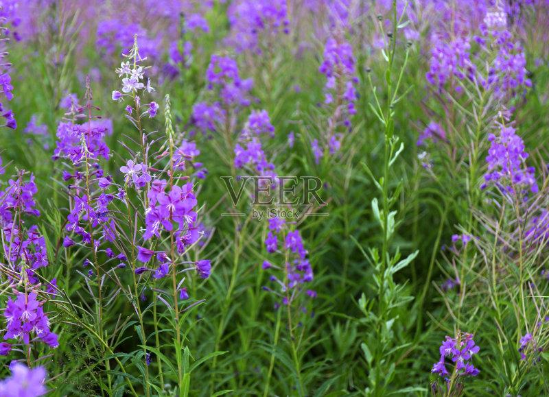 花草-草地 无人 粉色 花 绿色 地形 植物 草 蓝色 夏天 自然 户外