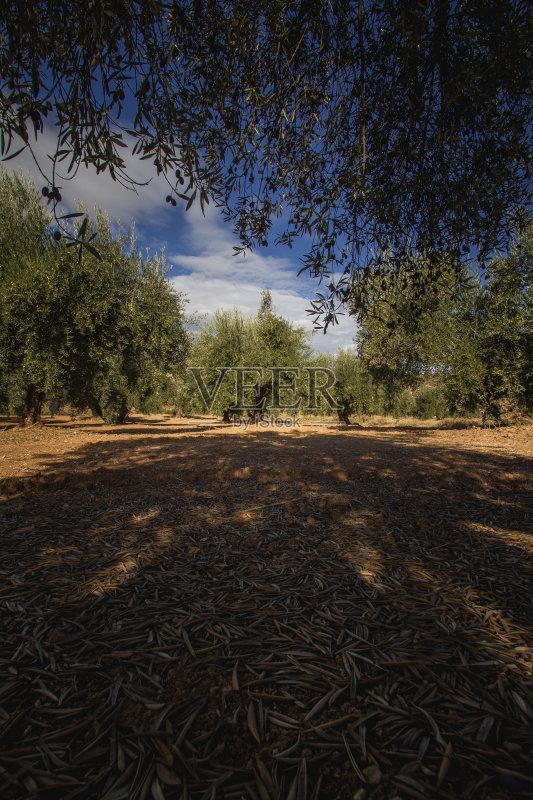 常绿树 田地 果园 水果 陆地 已经垦殖的土地 环境 安达路西亚 有机农庄