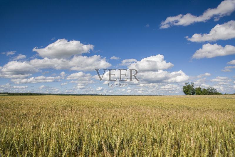 麦田-无人 田地 谷类 农业 云 小麦 斯洛文尼亚 天空 蓝色 夏天 自然 户外