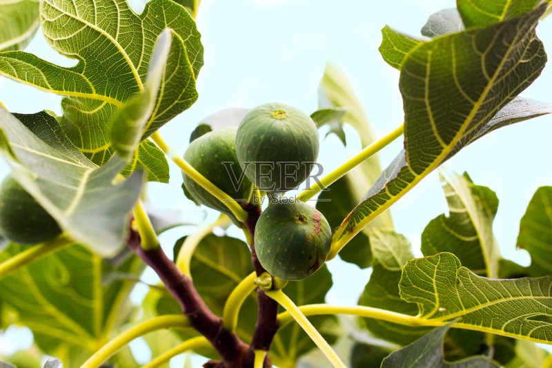 植物 自然 无花果 服从 无人 无花果树 2015年 糖 组物体