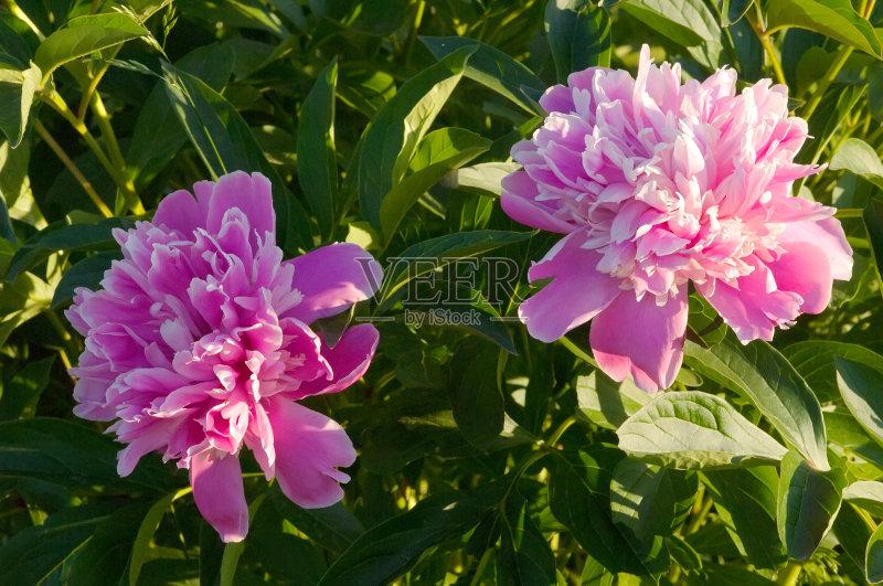 黄色 花边 花卉商 粉色 植物茎 花束 树 季节 花粉 户外