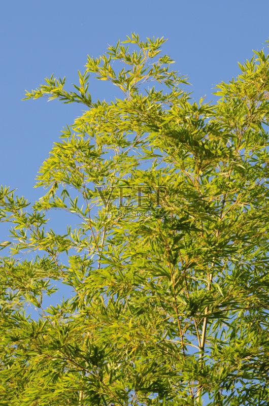 叶子 植物 风水 蓝色 枝 自然 活力 无人 棍 装饰 植物茎 清新 树 丰 小图片