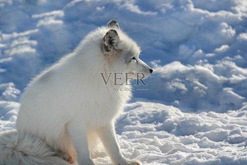 狐狸 哺乳纲 北极狐 自然 动物 户外图片
