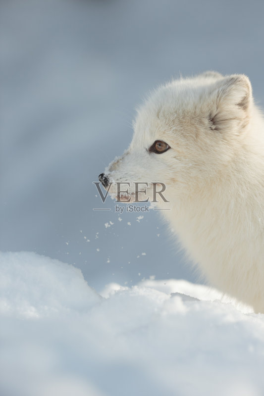冬天 厚衣服 北极狐 自然 动物 冰 无人 加拿大 冻原 北 野生动物 哺乳图片