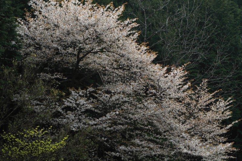 日本 亚洲樱桃树 白色 西亚库萨寺 春天 自然 滋贺县 枝繁叶茂 无人 图片