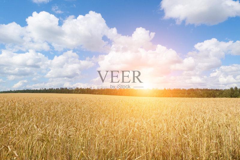 麦田-谷类 草地 陆地 生长 有机农庄 环境 晴朗 小麦 太阳 自然 黄色 农作