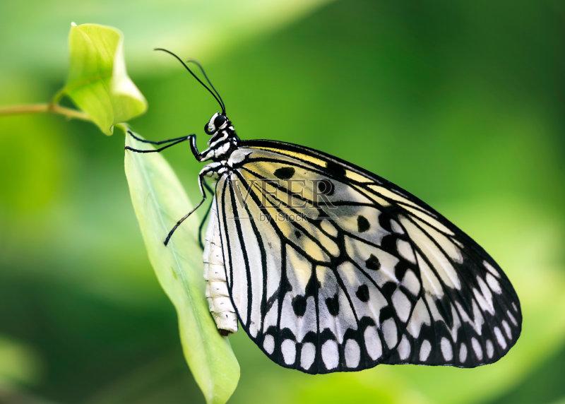叶子 植物 纸风筝蝶 昆虫 节肢动物 自然 亚洲 菲律宾 脆弱 鳞翅类 野生