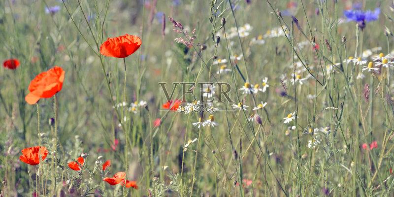 花草-谷类 草地 晴朗 植物 红色 仅一朵花 太阳 自然 甘菊花 雏菊族 矢车