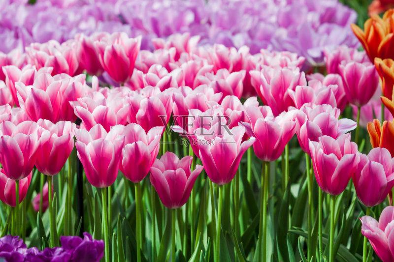黄色 白昼 花卉商 复活节 郁金香 花束 清新 季节 上升 阳光光束 五月