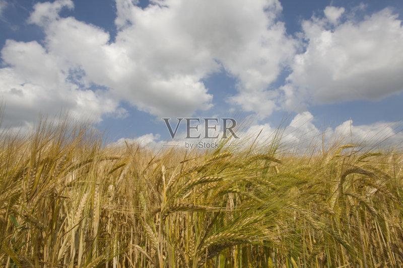麦田-谷类 生长 田园风光 威尔特 丰富 农场 天空 蓝色 自然 白昼 无人